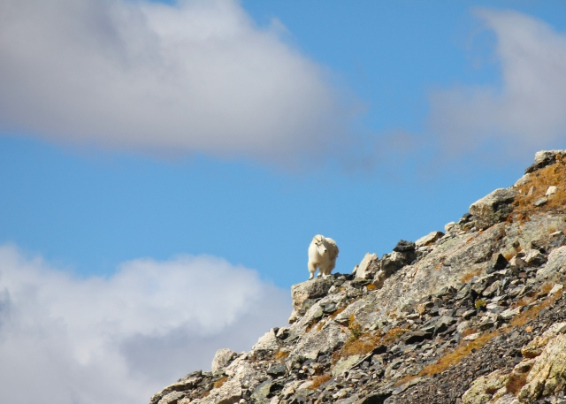 Mt Quandary Mountain Goat_10052015